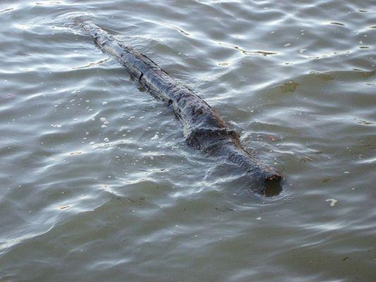 Crocodile de Seine