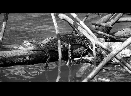crocodile relaxing in the chill-out-zone