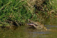 Crocs Love to Feed on Catfish - Me too