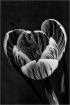 Crocus noir/blanc
