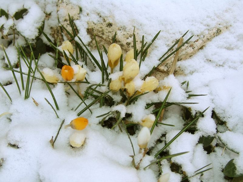 Crocuses in the Easter snow