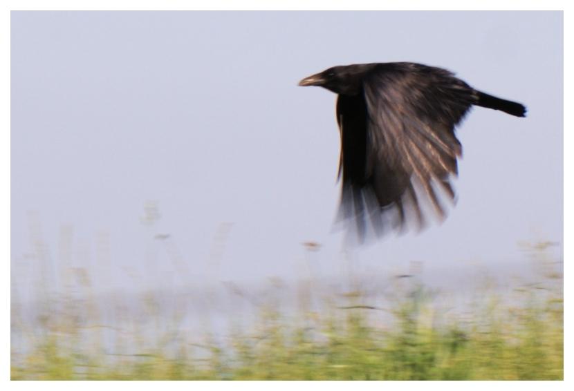 Crop-Vogel