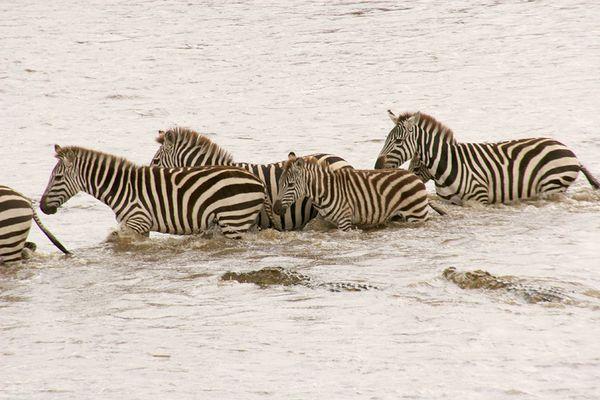 Cross the Mara River