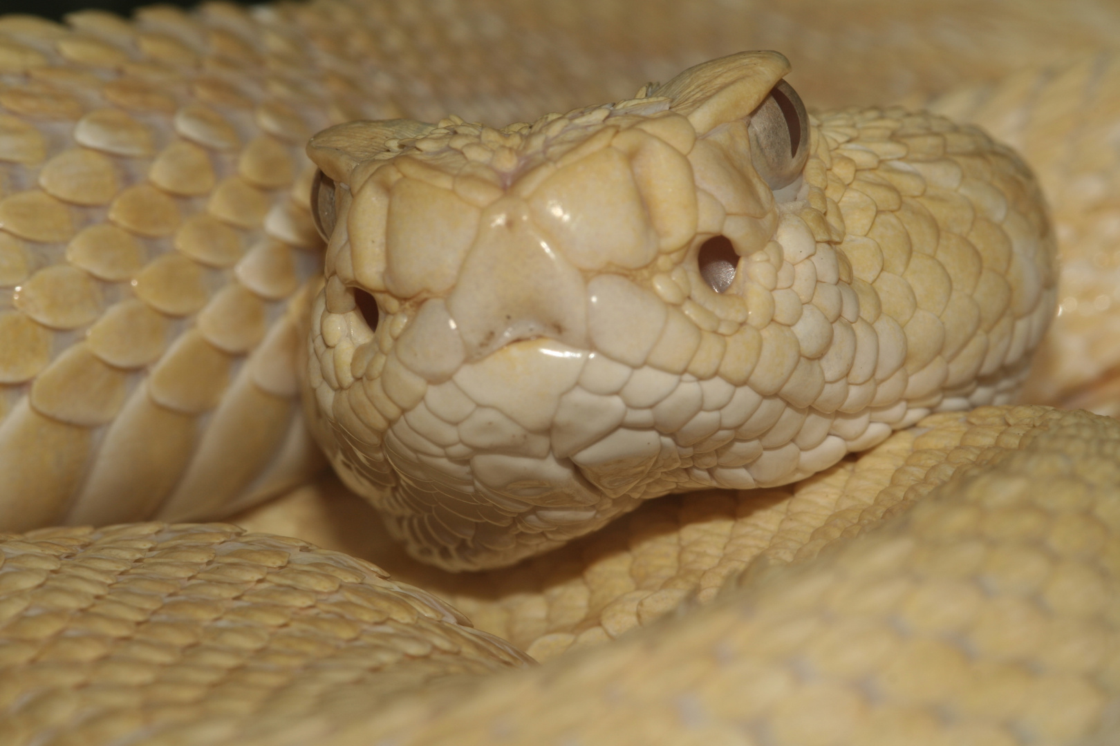 Crotale albinos