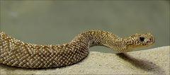 Crotalus vegrandis - Uracoan-Klapperschlange