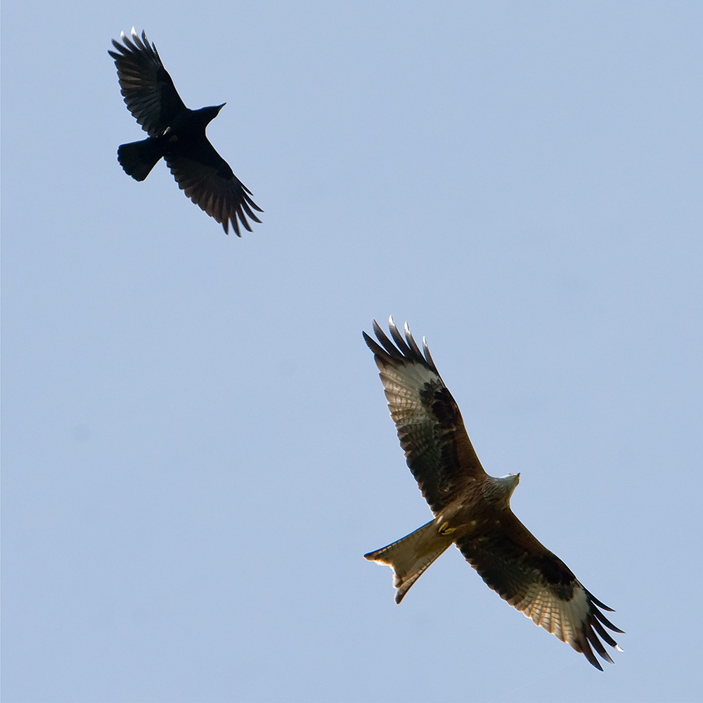 crow and red kite