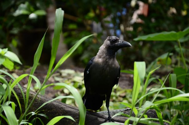 Crow, India