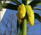 Crown imperial buds
