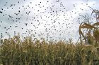 Crows in Corn