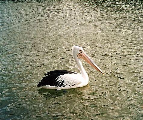 Cruising around, Pelican in Mandurah, Western Australia