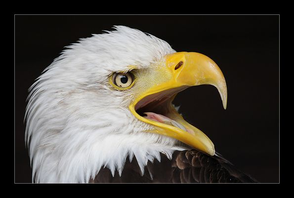 Crying Eagle