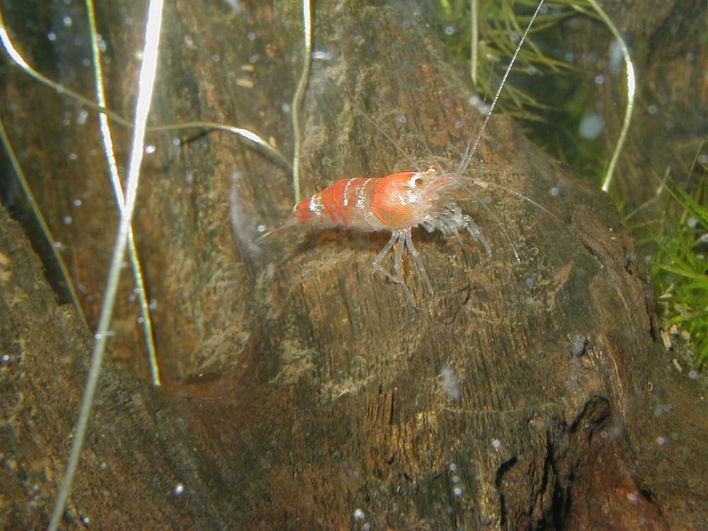 Crystal Red Süßwasser-Garnele