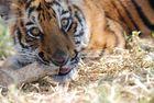 Cub of tiger