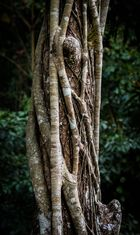 Cuba Bäume 2