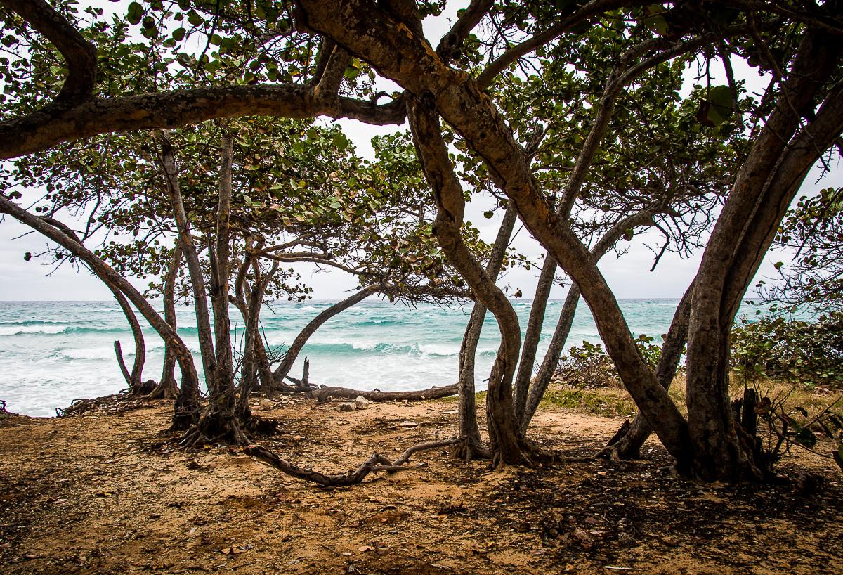 Cuba Bäume 3