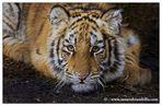 Cucciolo di Tigre siberiana