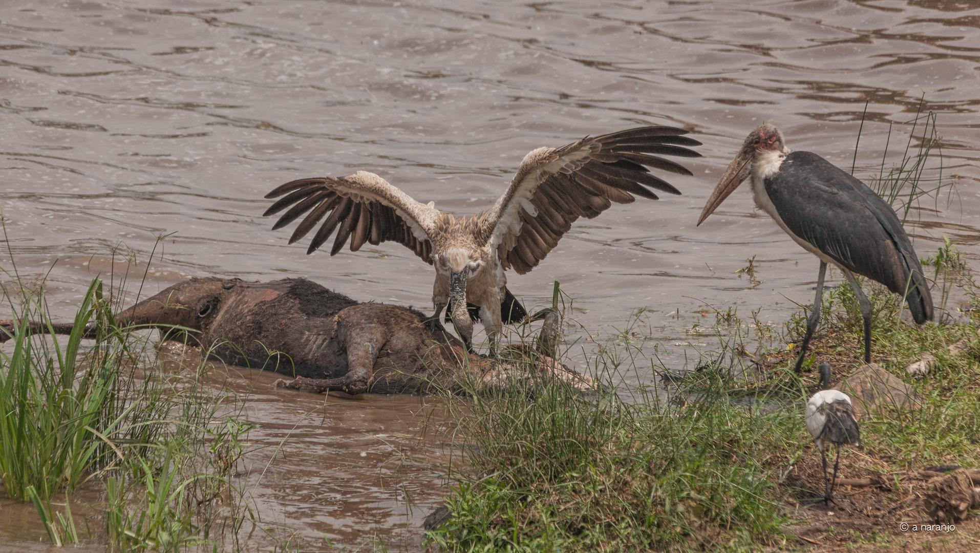 CUERVOS DEL MARA -KENIA