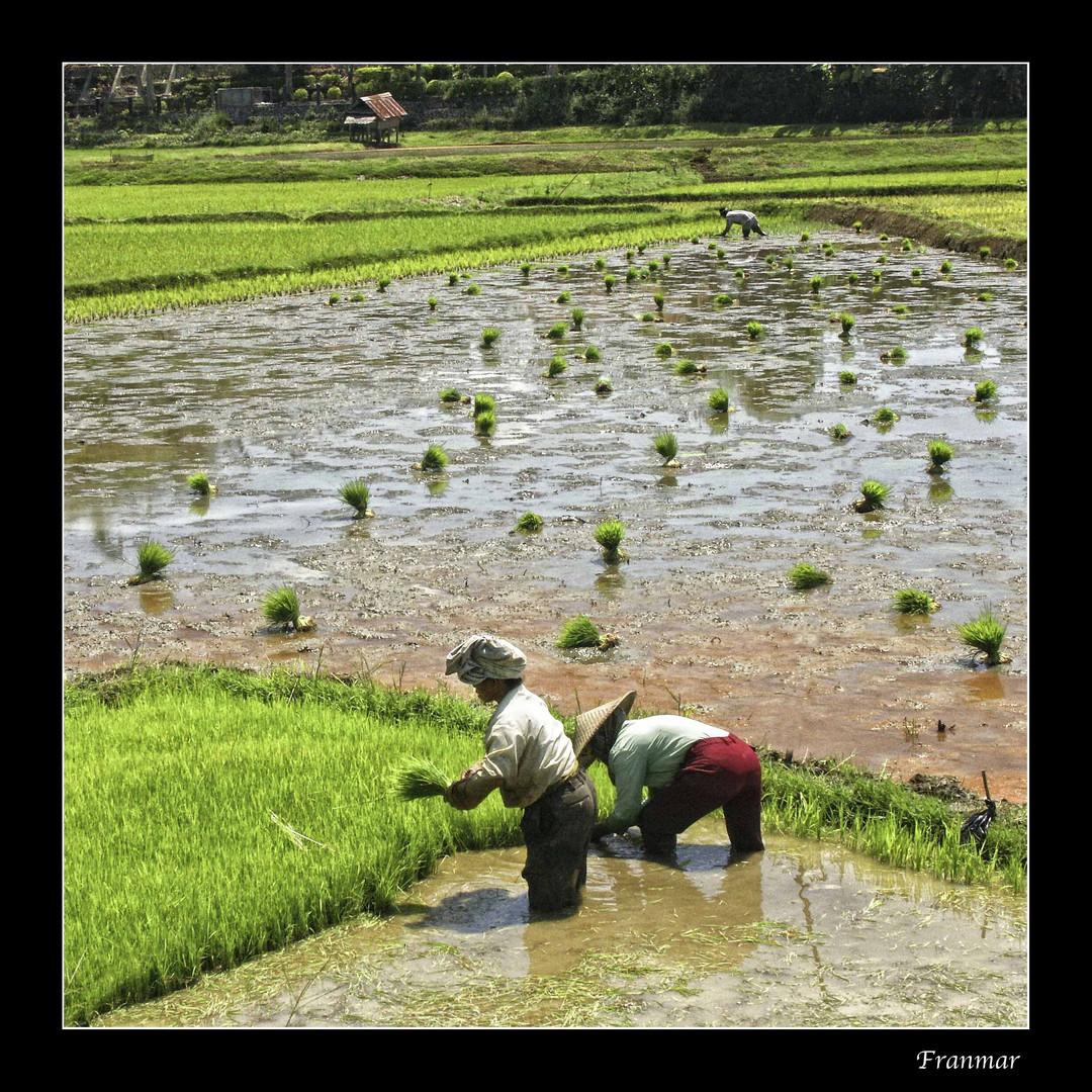 Cultivando arroz a pleno sol