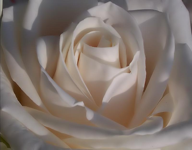 .....cuor di rosa.....