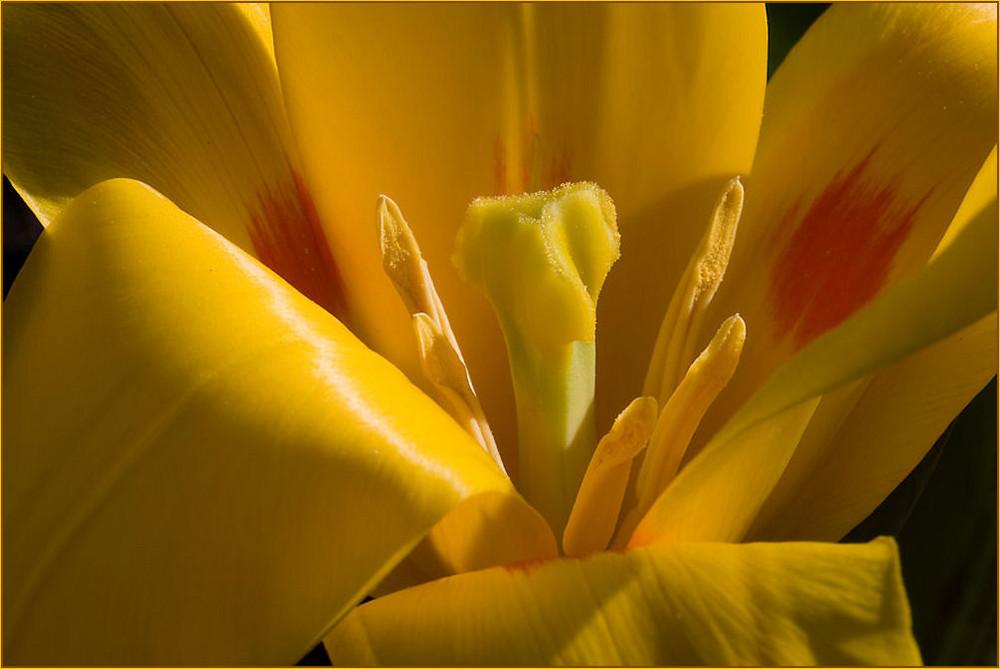 Cuor di tulipano