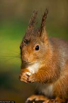 Écureuil roux (2)