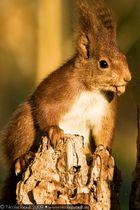 Écureuil roux (3)