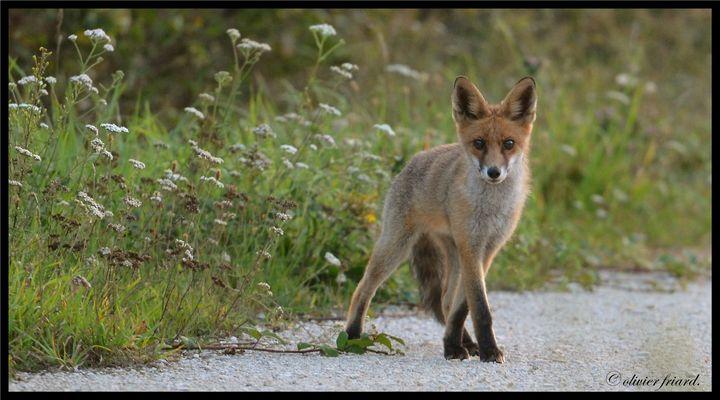 curiosité d'un jeune renard.