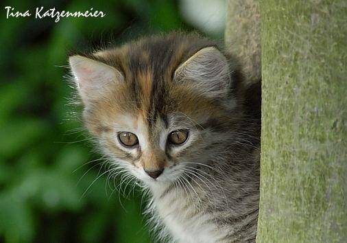 Curly Sue - Lockenkopf im Tigermantel
