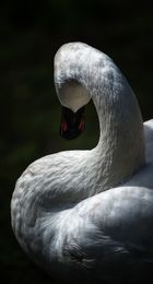 Curves in nature - the swan