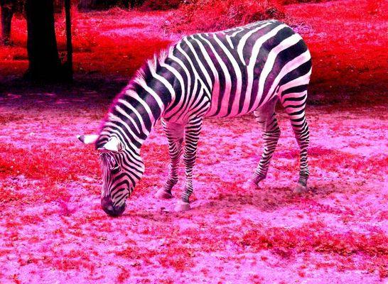 Cyber-Zebra