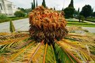 Cycas Fruchtstand