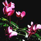 Cyclamen en fleurs