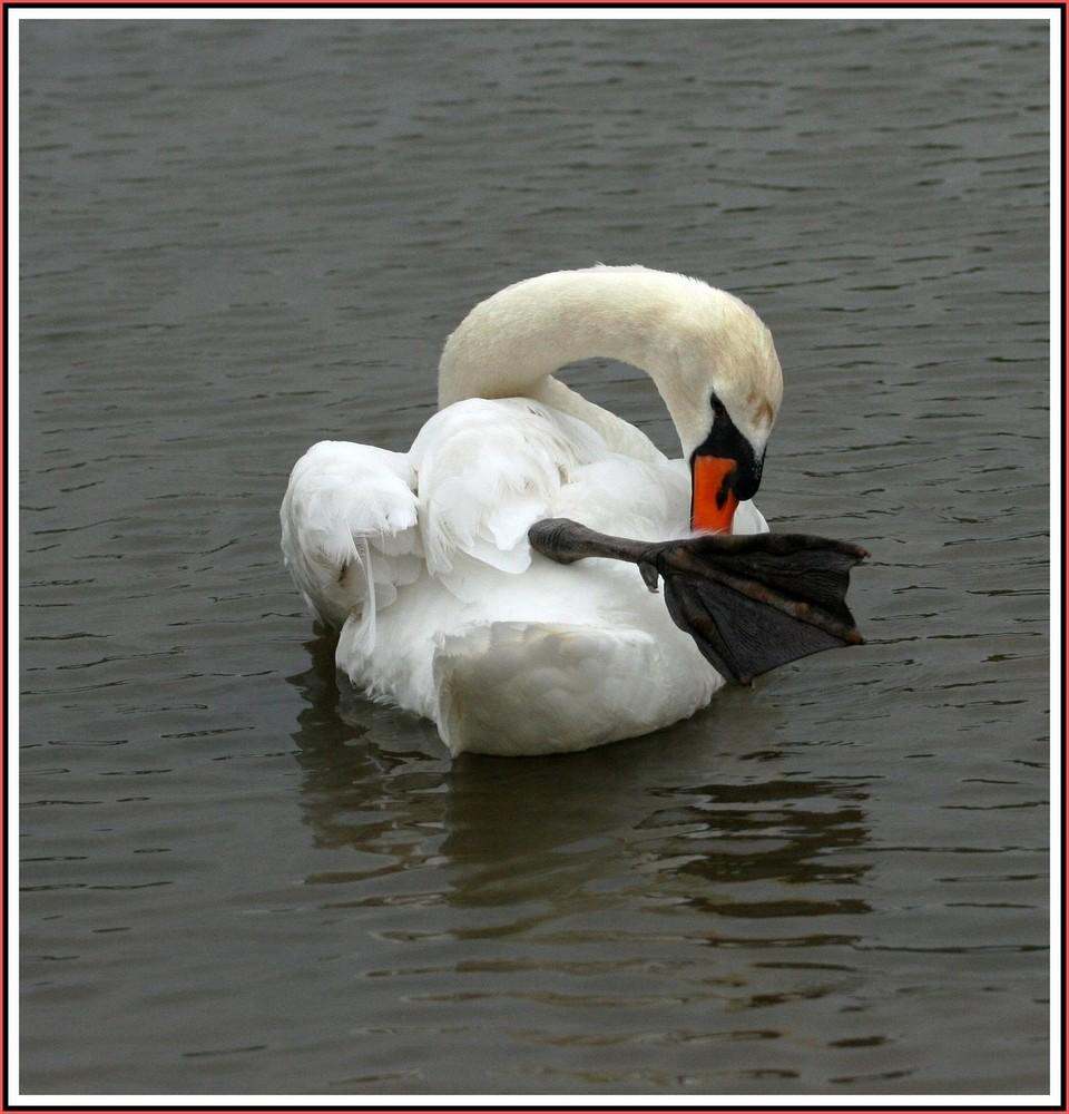 Cygne célibataire - Lac de St sur Nivelle 64
