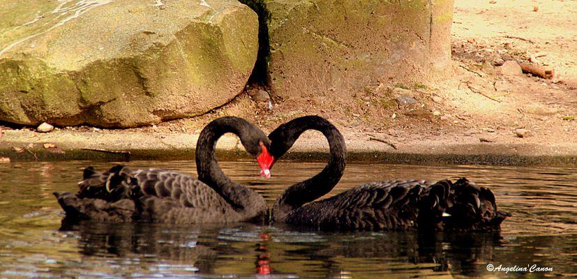 Cygne de l' amour