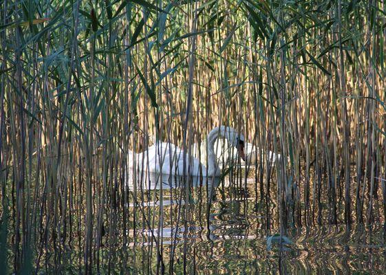 Cygnes au lac d'Annecy,dans la roselière