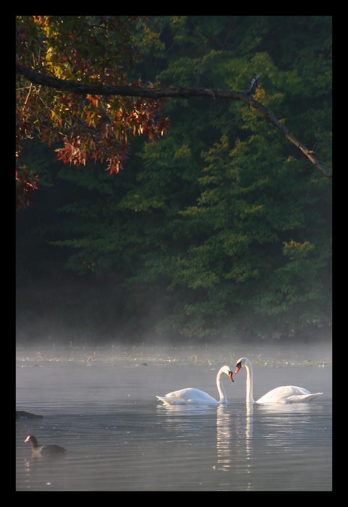 Cygnes au petit matin