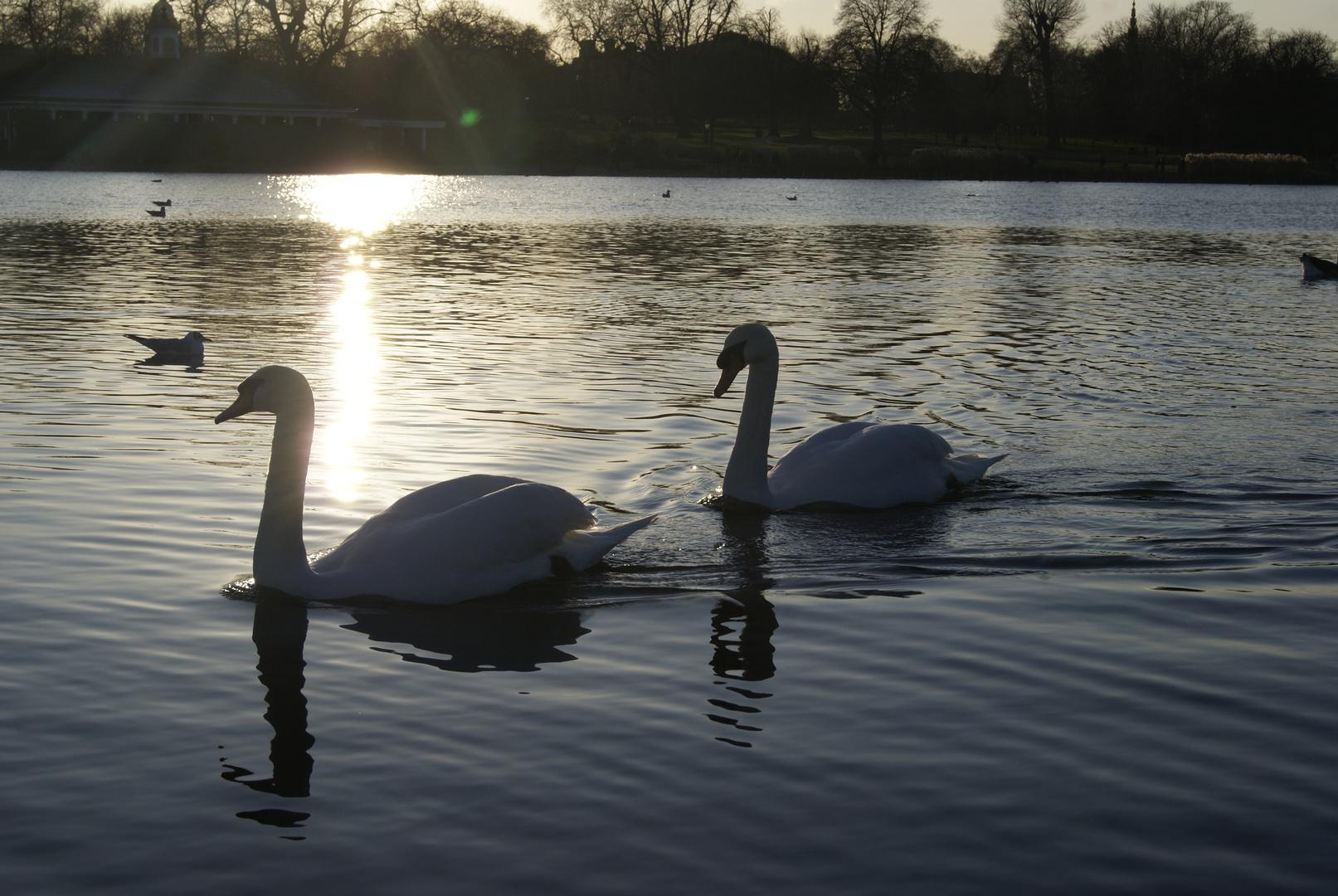 cygnes au soleil couchant, Hyde Park, Londres