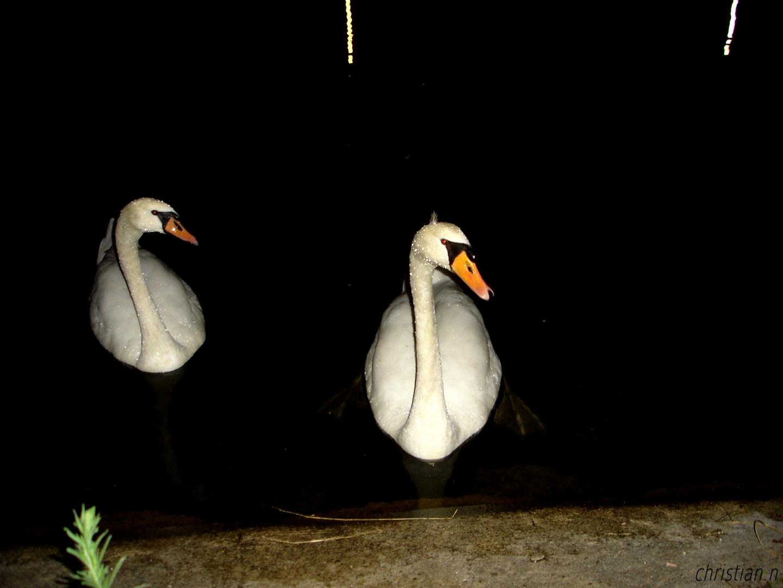 cygnes de nuit