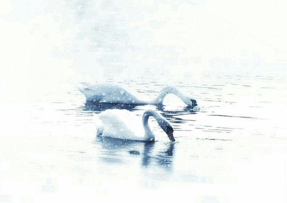 Cygnes en hiver