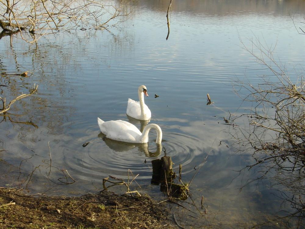 cygnes sur l'étang de la Champagne