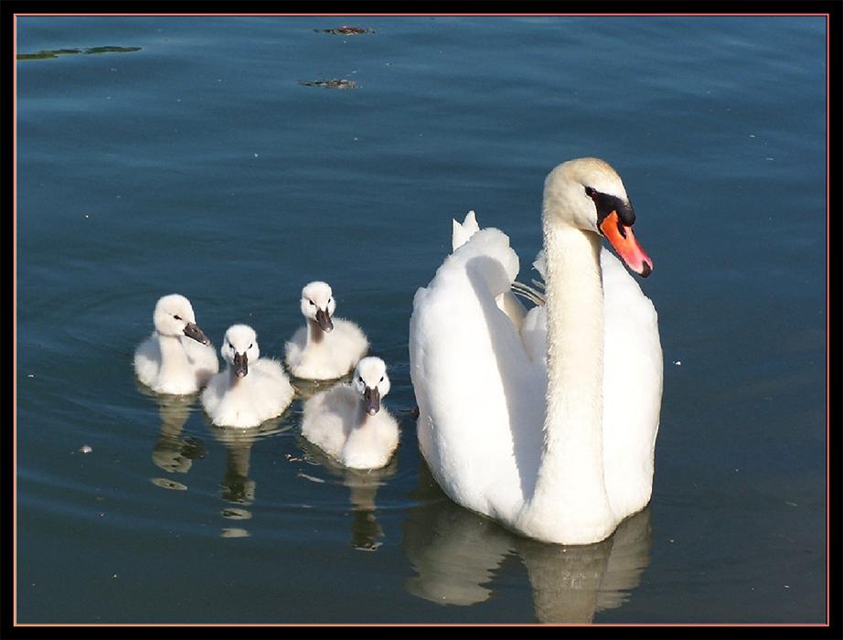 Cygnons , cygnets , ou cygneaux avec leur maman .