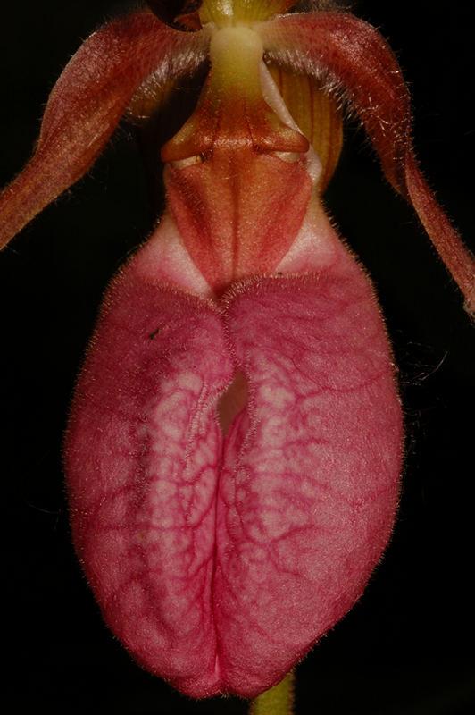 Cypripedium acuale
