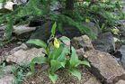 Cypripedium calceolus - Frauenschuh und am 29.04. die erste weit ...