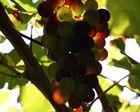 Da blitzt der Herbst schon durch die Trauben...