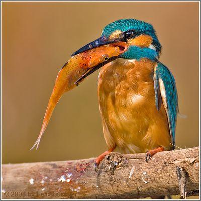 ... da geht er hin, mein Goldfisch