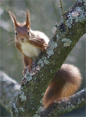 Da guckst du! Noch ein Eichhörnchen...