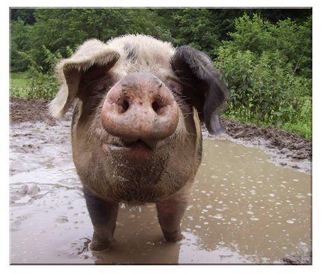 Da hat die Sau aber Schwein gehabt.....