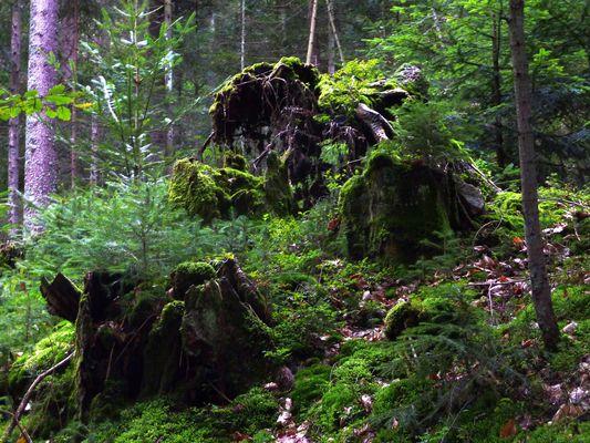Da-Hummmmm..... Moos & Baumstumpf im Bayerischen Wald