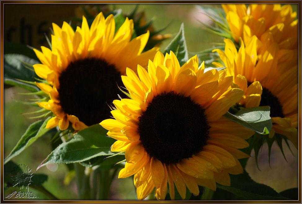 Da ich nirgends Sonnenblumenfelder finde,..............