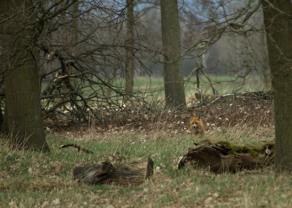 da pfiff der Fuchs  ...
